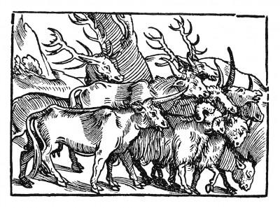 Стадо в Эфиопии. Иллюстрация Йорга Бреу Старшего к описанию путешествия на восток Лодовико ди Вартема: Ludovico Vartoman / Die Ritterliche Reise. Издал Johann Miller, Аугсбург, 1515