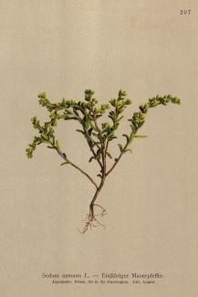 Седум однолетний (Sedum annuum (лат.)) (из Atlas der Alpenflora. Дрезден. 1897 год. Том III. Лист 207)