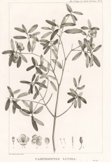 Это растение, Carpodontos lucida (лат.), первые европейские поселенцы в Австралии называли австралийским подснежником. Atlas pour servir à la relation du voyage à la recherche de La Pérouse, л.18. Париж, 1800