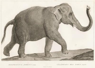 Индийская слониха в 1/10 натуральной величины (лист из La ménagerie du muséum national d'histoire naturelle ou description et histoire des animaux... -- знаменитой в эпоху Наполеона работы по натуральной истории)