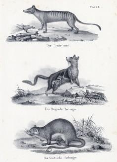 Сумчатый волк и два кускуса (лист 28 первого тома работы профессора Шинца Naturgeschichte und Abbildungen der Menschen und Säugethiere..., вышедшей в Цюрихе в 1840 году)