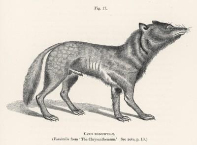 """Волк японский (иллюстрация к известной работе Джорджа Миварта """"Семейство волчьих"""". Лондон. 1890 год)"""