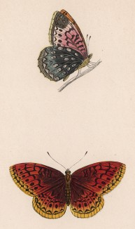 Прекрасная бабочка Афродита (лат. Papilio Aphrodite). History of British Butterflies Френсиса Морриса. Лондон, 1870, л.52