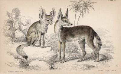 """Фенек Брюса (Megalotis zerda (лат.)) (лист 20 тома IV """"Библиотеки натуралиста"""" Вильяма Жардина, изданного в Эдинбурге в 1839 году)"""