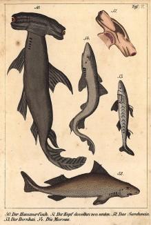 50.молот-рыба; 51.голова молот-рыбы; 52.морская свинья; 53.колючая акула; 54.морская свинья. Die Fische dargestellt in getreuen Abbildungen und mit ausführlicher Beschreibung, л.7. Лейпциг, 1840