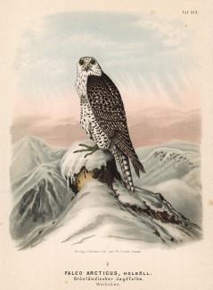 """Кречет Falco arcticus (лат.) в 1/3 натуральной величины, обитающий в Гренландии (лист XIX красивой работы Оскара фон Ризенталя """"Хищные птицы Германии..."""", изданной в Касселе в 1894 году)"""