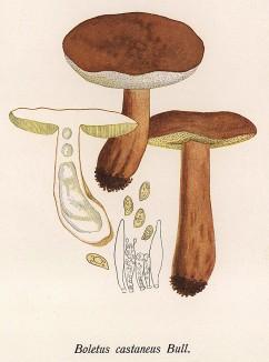 Гиропорус каштановый, он же каштановый гриб, каштановик, заячий и песочный гриб, Boletus castaneus Bull. (лат.). Съедобен. Дж.Бресадола, Funghi mangerecci e velenosi, т.II, л.177. Тренто, 1933