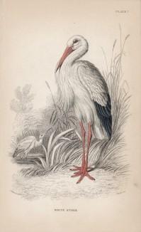 """Белый журавль (Ciconia alba (лат.)) (лист 7 тома XXVI """"Библиотеки натуралиста"""" Вильяма Жардина, изданного в Эдинбурге в 1842 году)"""