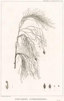 Экзокарпос кипарисовидный, Exocarpos cupressiformis (лат.), из семейства санталовых. Atlas pour servir à la relation du voyage à la recherche de La Pérouse, л.14. Париж, 1800