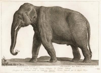 Индийский слон в 1/10 натуральной величины (лист из La ménagerie du muséum national d'histoire naturelle ou description et histoire des animaux... -- знаменитой в эпоху Наполеона работы по натуральной истории)