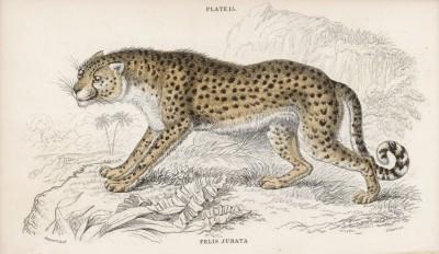 "Гепард (Felis Jubata (лат.)) (лист 15 тома III ""Библиотеки натуралиста"" Вильяма Жардина, изданного в Эдинбурге в 1834 году)"