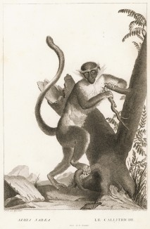 Зелёная мартышка (лист из La ménagerie du muséum national d'histoire naturelle ou description et histoire des animaux... -- знаменитой в эпоху Наполеона работы по натуральной истории)