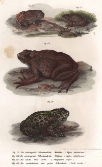 Семья иберийских жаб-повитух (Alytes obstetricans) (вверху), жабовидная пискунья (в центре) и зелёная жаба (Bufo viridis (лат.)) (из Naturgeschichte der Amphibien in ihren Sämmtlichen hauptformen. Вена. 1864 год)