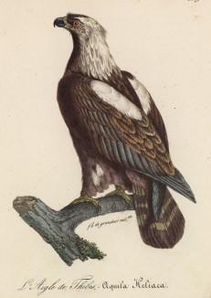 """Орёл-могильник (Aquila heliaca (лат.)) (лист из альбома литографий """"Галерея птиц... королевского сада"""", изданного в Париже в 1822 году)"""