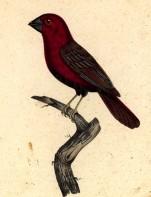 дубонос обыкновенный зимующая птица