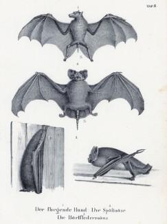Летучая собака, или калонг (1), а также различные летучие мыши (лист 8 первого тома работы профессора Шинца Naturgeschichte und Abbildungen der Menschen und Säugethiere..., вышедшей в Цюрихе в 1840 году)
