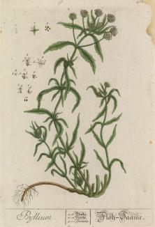 """Подорожник (Plantago (лат.)) — род растений семейства подорожниковые. Высушенные листья используют для получения препарата Плантаглюцид (лист 412 """"Гербария"""" Элизабет Блеквелл, изданного в Нюрнберге в 1760 году)"""