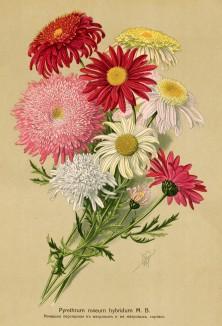 Пиретрум розовый гибридный (Purethrum roseum hybridum M.B.). Многолетники наиболее красивые и пригодные для садовой культуры. Санкт-Петербург, 1913
