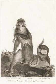 Малые белоносые мартышки (лист из La ménagerie du muséum national d'histoire naturelle ou description et histoire des animaux... -- знаменитой в эпоху Наполеона работы по натуральной истории)