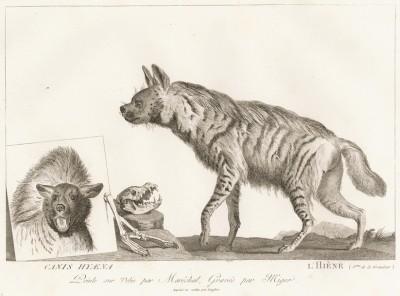 Гиена (лист из La ménagerie du muséum national d'histoire naturelle ou description et histoire des animaux... -- знаменитой в эпоху Наполеона работы по натуральной истории)