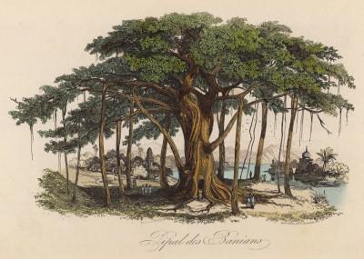 Гигантский индийский фикус (иллюстрация к работе Ахилла Конта Musée d'histoire naturelle, изданной в Париже в 1854 году)