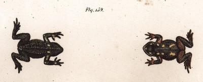 """Маленькая жаба Phryniscus nigricans (лат.) из Никарагуа. Знаменита тем, что упомянута Чарльзом Дарвином в его """"Происхождении человека"""" (из Naturgeschichte der Amphibien in ihren Sämmtlichen hauptformen. Вена. 1864 год)"""