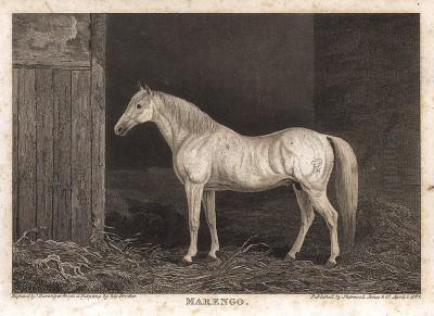 Белый арабский жеребец по кличке Маренго - любимый конь императора Наполеона I. Английская гравюра, изданная в 1824 г.