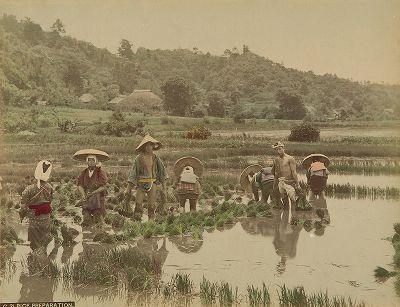 Выращивание риса. Крашенная вручную японская альбуминовая фотография эпохи Мэйдзи (1868-1912).