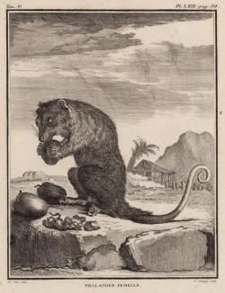 """Фалангер-девочка за обедом (лист LXIX иллюстраций к пятому тому знаменитой """"Естественной истории"""" графа де Бюффона, изданному в Париже в 1755 году)"""