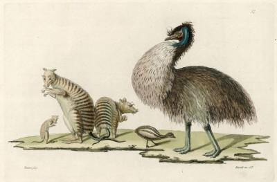 Животные и птицы Новой Голландии (официальное название Австралии до 1804 года) (из работы Джулио Феррарио Il costume antico e moderno, o, storia... di tutti i popoli antichi e moderni (Азия. Том IV. Милан. 1818 год))
