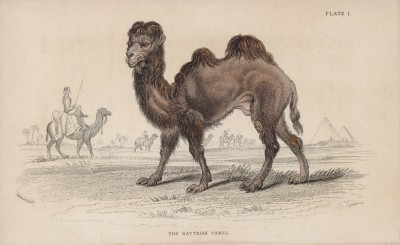 """Двугорбый верблюд, или бактриан (Camelus Bactrianus (лат.)) (лист 1 тома XI """"Библиотеки натуралиста"""" Вильяма Жардина, изданного в Эдинбурге в 1843 году"""