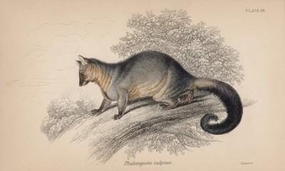 """Поссум, он же кускус, он же фалангер (Phalangista vulpina (лат.)) (лист 23 тома VIII """"Библиотеки натуралиста"""" Вильяма Жардина, изданного в Эдинбурге в 1841 году)"""