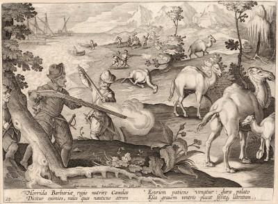 Говорят, что в суровой варварской стране живут редкие верблюды, на которых охотится воин-моряк, умеющий переносить суровый голод. Грубая для нёба пища ослабляет и унимает cильное урчание в животе (Venationes Ferarum, Avium, Piscium, лист 28)