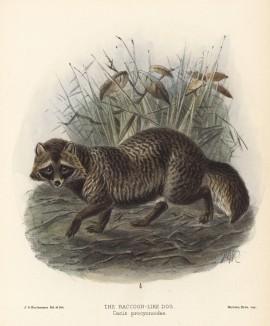 """Собака енотовидная (лист XXXII иллюстраций к известной работе Джорджа Миварта """"Семейство волчьих"""". Лондон. 1890 год)"""