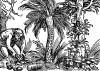 Сбор кокосовых орехов. Иллюстрация Йорга Бреу Старшего к описанию путешествия на восток Лодовико ди Вартема: Ludovico Vartoman / Die Ritterliche Reise. Издал Johann Miller, Аугсбург, 1515