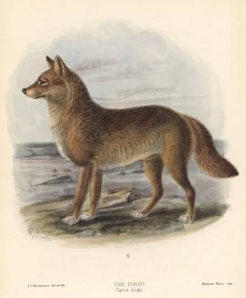 """Дикая собака динго (лист XXXVII иллюстраций к известной работе Джорджа Миварта """"Семейство волчьих"""". Лондон. 1890 год)"""