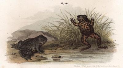 Чесночница обыкновенная (Pelobates fuscus (лат.)) (из Naturgeschichte der Amphibien in ihren Sämmtlichen hauptformen. Вена. 1864 год)