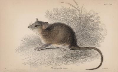 """Поссум пигмей (Phalangista nana (лат.)) (лист 26 тома VIII """"Библиотеки натуралиста"""" Вильяма Жардина, изданного в Эдинбурге в 1841 году)"""