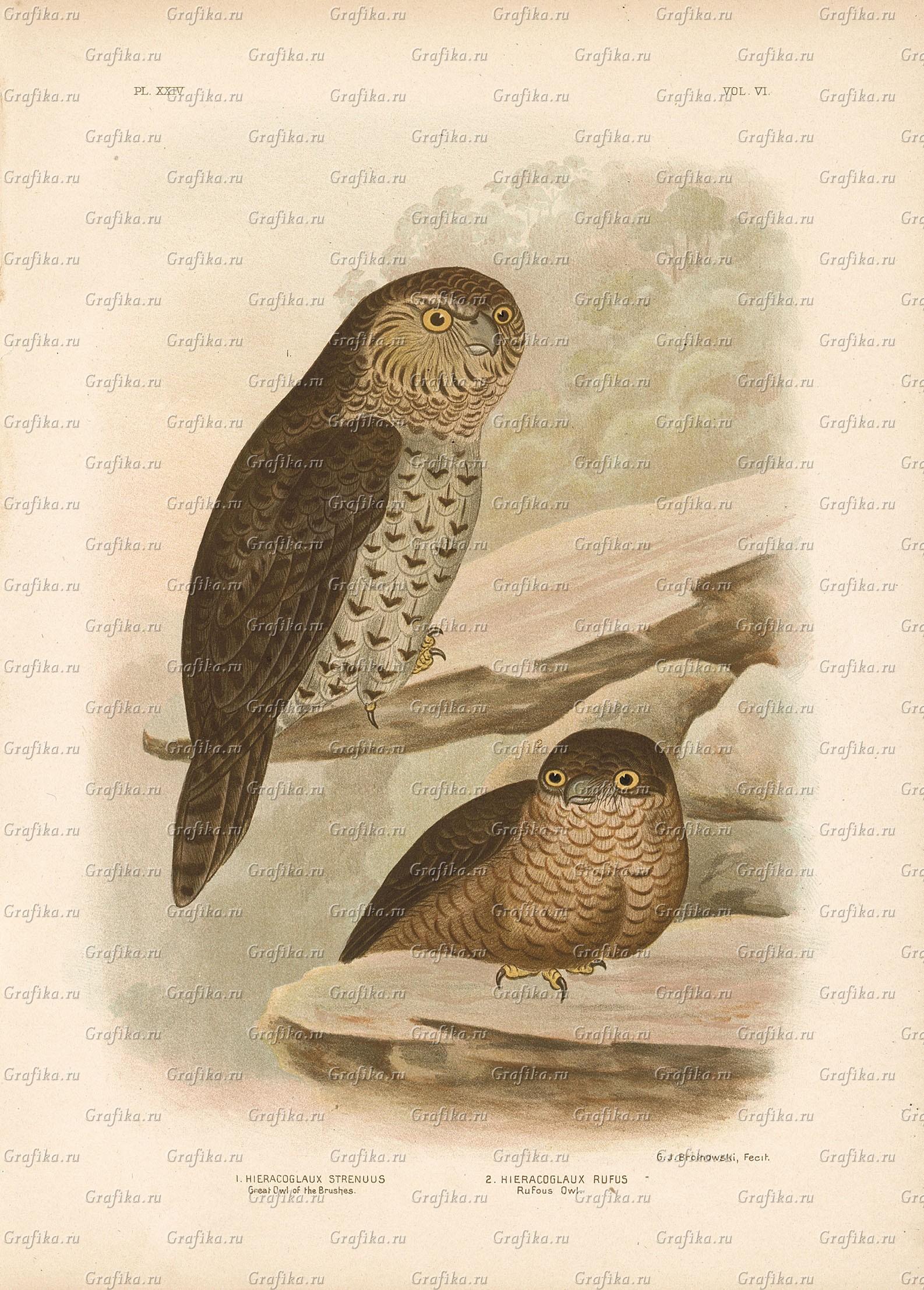Кукушечья иглоногая сова