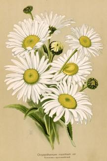 Хризантема наибольшая (Chrysanthemum maximum). Многолетники наиболее красивые и пригодные для садовой культуры. Санкт-Петербург, 1913