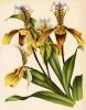 Орхидея CYPRIPEDIUM x PAULI (лат.) (лист DLXXI Lindenia Iconographie des Orchidées - обширнейшей в истории иконографии орхидей. Брюссель, 1897)