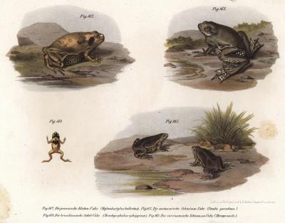 Всяческие жабы и лягушки, обитающие в Южной Америке (из Naturgeschichte der Amphibien in ihren Sämmtlichen hauptformen. Вена. 1864 год)