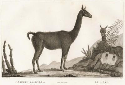Лама (лист из La ménagerie du muséum national d'histoire naturelle ou description et histoire des animaux... -- знаменитой в эпоху Наполеона работы по натуральной истории)