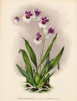 Орхидея ONCIDIUM PHALAENOPSIS (лат.) (лист DLIII Lindenia Iconographie des Orchidées - обширнейшей в истории иконографии орхидей. Брюссель, 1897)