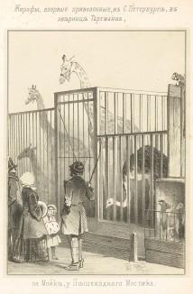 Жирафы, впервые привезённые в С.-Петербург, в зверинец Тартмана на Мойке, у пешеходного моста (Русский художественный листок. № 6 за 1852 год)