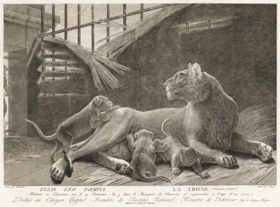 Львица с потомством (лист из La ménagerie du muséum national d'histoire naturelle ou description et histoire des animaux... -- знаменитой в эпоху Наполеона работы по натуральной истории)