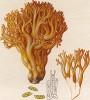 Pогатик золотистый, Clavaria aurea Schaeff. (лат.). Дж.Бресадола, Funghi mangerecci e velenosi, т.II, л.194. Тренто, 1933