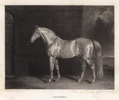 Конь Полковник кремового окраса, принадлежащий её величеству королеве Виктории. Лондон, 1843
