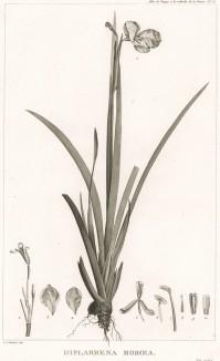 Белый ирис, Diplarrena moraea (лат.), произрастающий в Австралии. Atlas pour servir à la relation du voyage à la recherche de La Pérouse, л.15. Париж, 1800