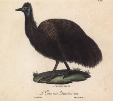 """Эму чёрный (лист из альбома литографий """"Галерея птиц... королевского сада"""", изданного в Париже в 1825 году)"""